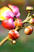 stock photo of cannonball-flower  - Close up of a bunch of flower and buds of african cannonball tree in africa - JPG