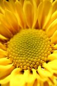 Closeup Of Pretty Yellow Chrysanthemum(daisy) Flower. This Pretty Blossom Is Also Known As  Mums And poster