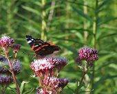 Red Admiral On Flower At Summer Time