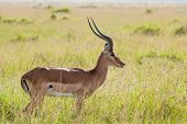 stock photo of antelope horn  - Photo of an Impala in the Massai Mara Savannah Kenya. Scientific name: Aepyceros melampus