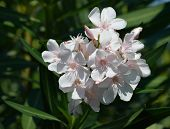 stock photo of oleander  - beautiful oleander white with the green background