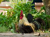 picture of bantams  - Bantam walk on the grass in my house - JPG