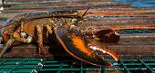 picture of lobster trap  - Live lobster on top of a  lobster pot - JPG