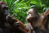 picture of orangutan  - A wild life shot of orangutans in captivity - JPG