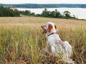pic of english setter  - Irish setter on wheat field near a lake - JPG