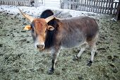 foto of hump day  - A miniature bull looking with big horns - JPG