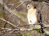 foto of hawks  - Red Shoulder Hawk in the Florida Everglades - JPG