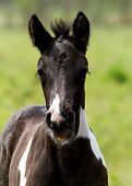 picture of foal  - Young foal in the green in the pasturefield - JPG