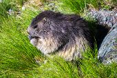 pic of marmot  - cute marmot sitting and eating in the grass - JPG