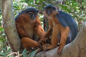 image of forlorn  - Male and female Western Red Colobus Monkey (Piliocolobus badius) holding hands in a tree