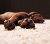 stock photo of chocolate lab  - a cute chocolate lab puppy sleeping in a house with shallow dept - JPG