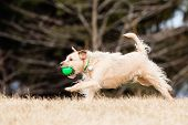 stock photo of border terrier  - Running Mutt of border terrier with ball - JPG