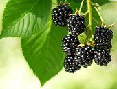 image of blackberries  - fresh blackberries in a garden on green background - JPG