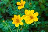 stock photo of cosmos flowers  - Cosmos Flower Blossom  - JPG