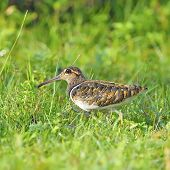 image of snipe  - Long bill bird male Greater Painted - JPG