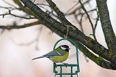 stock photo of great tit  - garden bird ( great tit parus major ) on fat feeder in the garden
