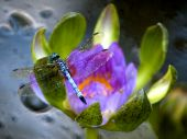 stock photo of water lily  - A Dragonfly acts as a sentry as he sits on a Lily - JPG