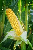 stock photo of corn  - Corn Maize Ear with ripe yellow seed on stalk of a fully grown corn plant in cultivated agricultural field - JPG