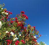 foto of oleander  - oleander - JPG