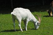 stock photo of billy goat  - Grazing White Goat on a Farmland Pasture - JPG