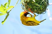 stock photo of african mask  - Southern Masked Weaver Bird Ploceus velatus African Masked - JPG
