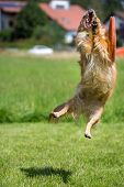foto of frisbee  - A small brown dog in the failed attempt to catch a Frisbee - JPG