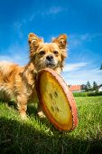 picture of frisbee  - A small brown dog stands with a frisbee in a meadow - JPG