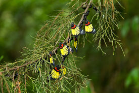 picture of cocoon tree  - Beautiful color of butterfly hanging on pine tree - JPG