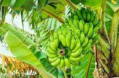 stock photo of banana tree  - Green bananas growing on tree in Bangladesh - JPG