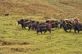 picture of yaks  - Yaks in carrying supplies in Himalayas mountains in Nepal - JPG