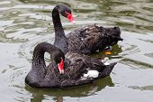 stock photo of black swan  - Couple of black swans swimming in a pond - JPG