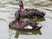 pic of black swan  - A couple of black swans swimming in a pond - JPG