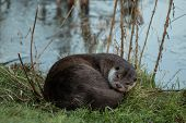 Постер, плакат: Otter Sleeping