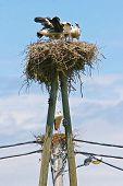 image of stork  - White storks in two nests on top of electric poles - JPG