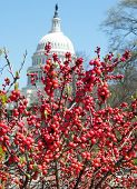 foto of winterberry  - Winterberry Ilex verticillata near Capitol in Washington DC USA - JPG
