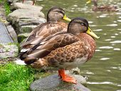 foto of duck pond  - two ducks on the edge of a pond in the park  - JPG