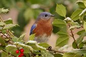 foto of bluebird  - Male Eastern Bluebird (Sialia sialis) perched in a holly bush with snow [[** Note: Shallow depth of field ** Note: Soft Focus at 100%, best at smaller sizes - JPG