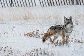 stock photo of coyote  - Coyote Winter Hunt - JPG