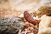 stock photo of cone  - Fallen Cone Closeup Photo - JPG