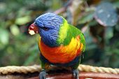 stock photo of lorikeets  - Colorful Rainbow Lorikeet in Tenerife Island, Spain