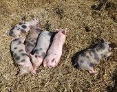 pic of farrow  - Sleeping mottled and pink piglets in the straw