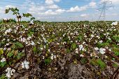 foto of boll  - Raw Cotton Growing in a Cotton Field - JPG