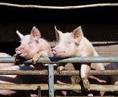stock photo of farrow  - Young chattering pigs on the gate of their stable waiting for food - JPG
