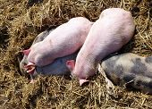 stock photo of farrow  - Sleeping mottled and pink piglets in the straw - JPG