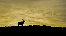 image of eland  - An Eland bull stands silhouetted as the sun rises at the Cape Of Good Hope, South Africa ** Note: Visible grain at 100%, best at smaller sizes - JPG