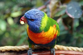 picture of lorikeets  - Colorful Rainbow Lorikeet in Tenerife Island, Spain ** Note: Soft Focus at 100%, best at smaller sizes - JPG