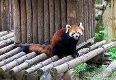 stock photo of raccoon  - Red raccoon in a zoo in Wuxi Jiangsu province China - JPG