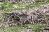 foto of coy  - A lone Coyote in a rocky environment - JPG