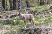 stock photo of coy  - A lone coyote in a rocky - JPG