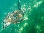 picture of green turtle  - The Big Turtle near The Green Island - JPG